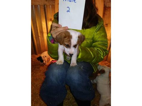 2 purebred Jack Russell Puppies for adoption in Marshall