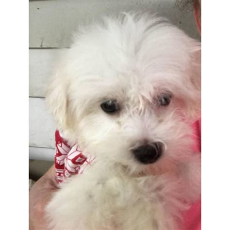 Two male Maltese puppies in Mansfield, Ohio - Puppies for