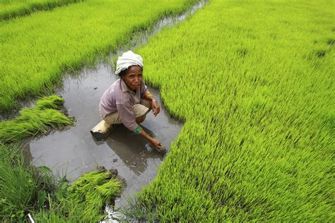 Rice Harvest in Timor-Leste | A woman harvests rice by