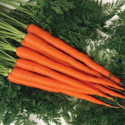 Candysnax Hybrid Carrot Seeds from Park Seed