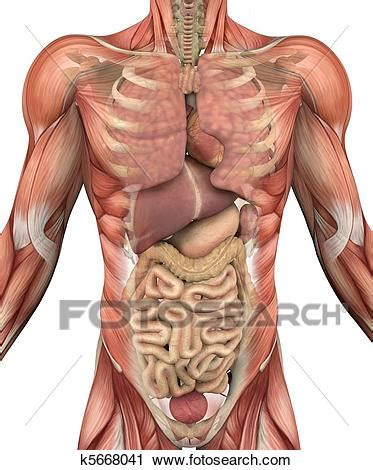 Male Torso with Muscles and Organs Stock Image | k5668041