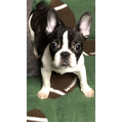 Miniature french bulldogs puppies for adoption in Los