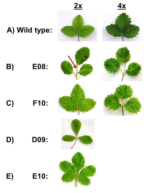 Somatic embryogenesis, tetraploidy, and variant leaf