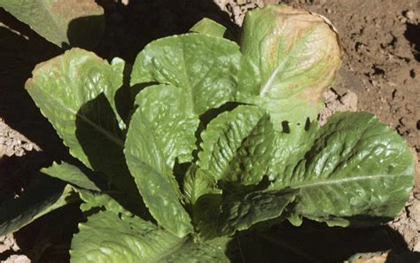 Herbicides that move up in plants - UC Weed Science - ANR